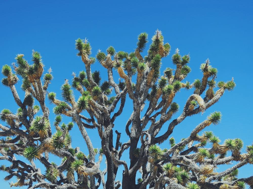 Joshua tree, Mojave Desert