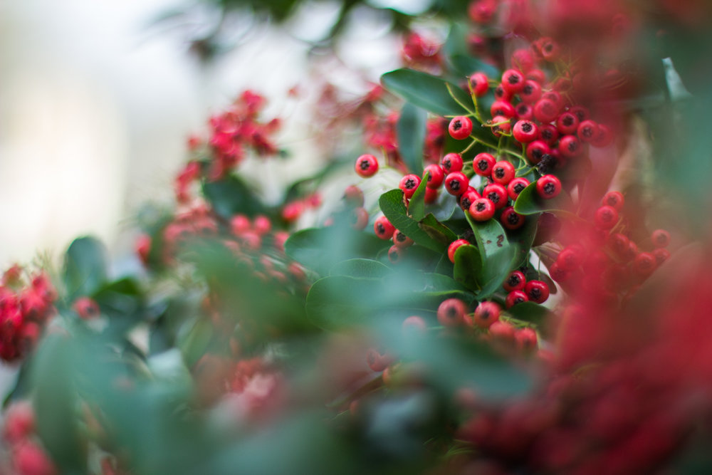 English winter berries • Cheshire, England •
