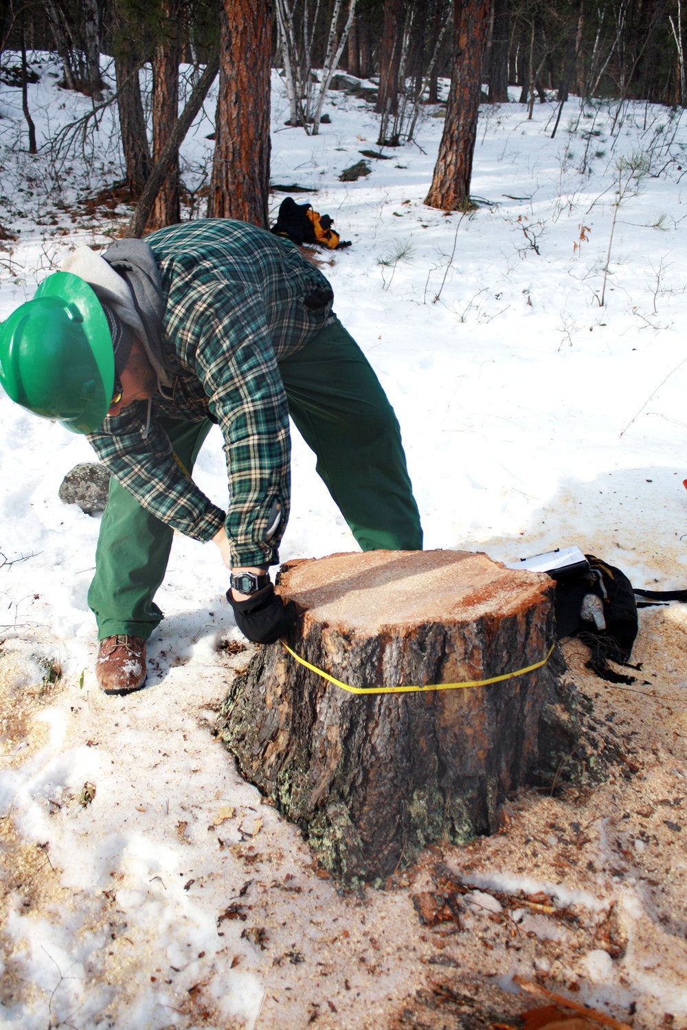 A worker measures the stump to determine the payment for each tree cut based on size. Photo provided by Dave Heck.