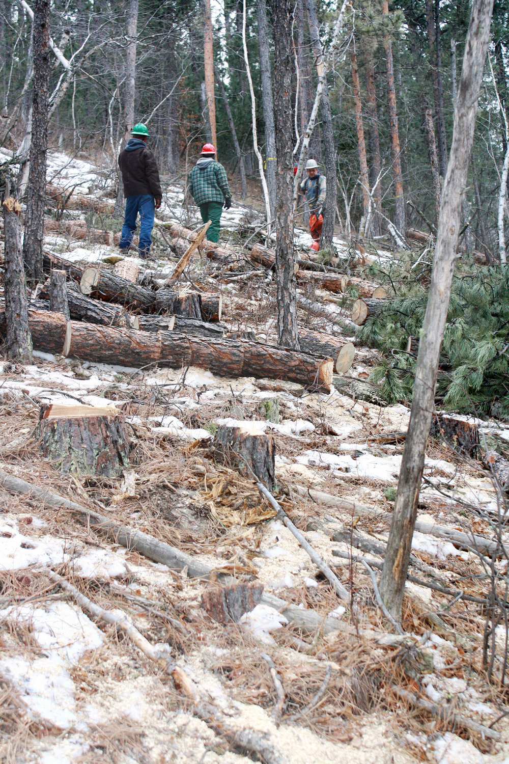 Workers walk through an infested area, looking at the trees being cut. Photo provided by Dave Heck.