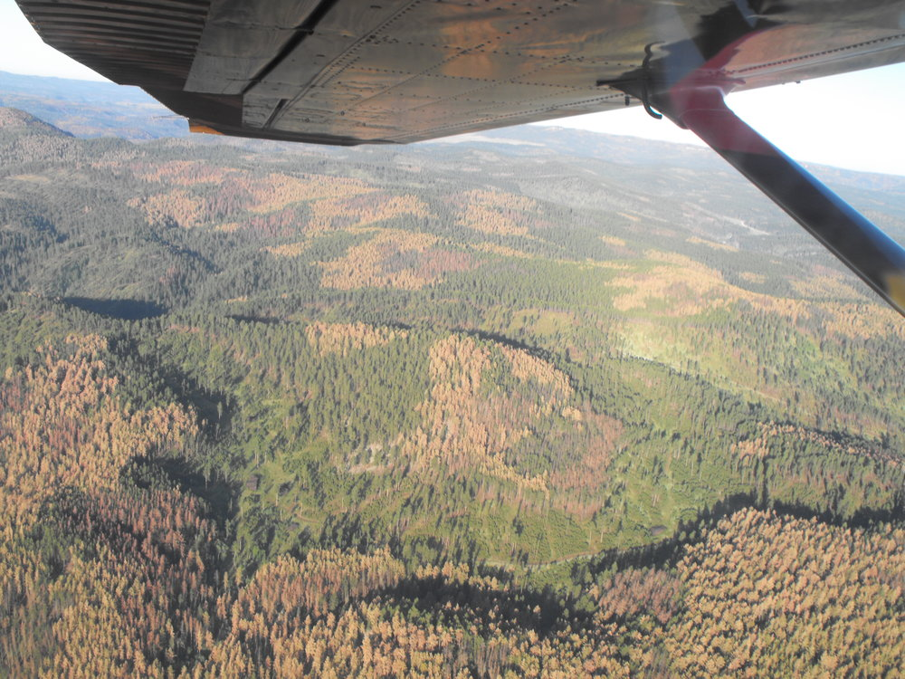 Infested. Fly over photo taken in June 2012 looking towards Rapid City showing the red and dead trees already infested with the mountain pine beetle. Photo provided by Dave Heck.