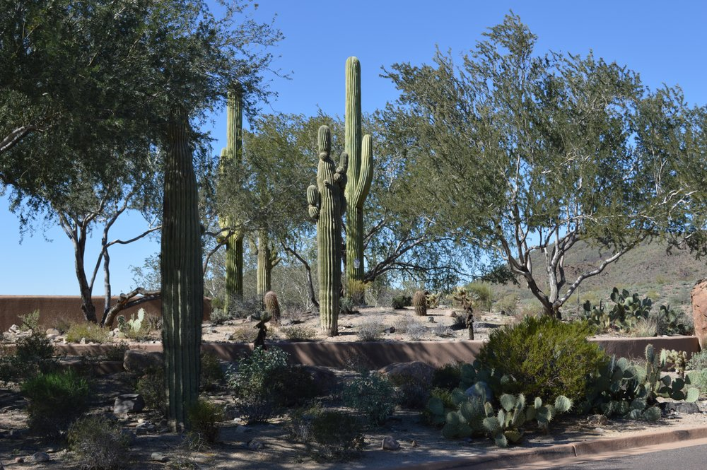 STEALTH WIRELESS SITES. Saguaro second from left and saguaro on far right are two separate stealth wireless sites well disguised with live saguaros. Site is elevated for additional verticality on a hill overlooking a heavily used four-lane road. Photo by Jesse Drake.