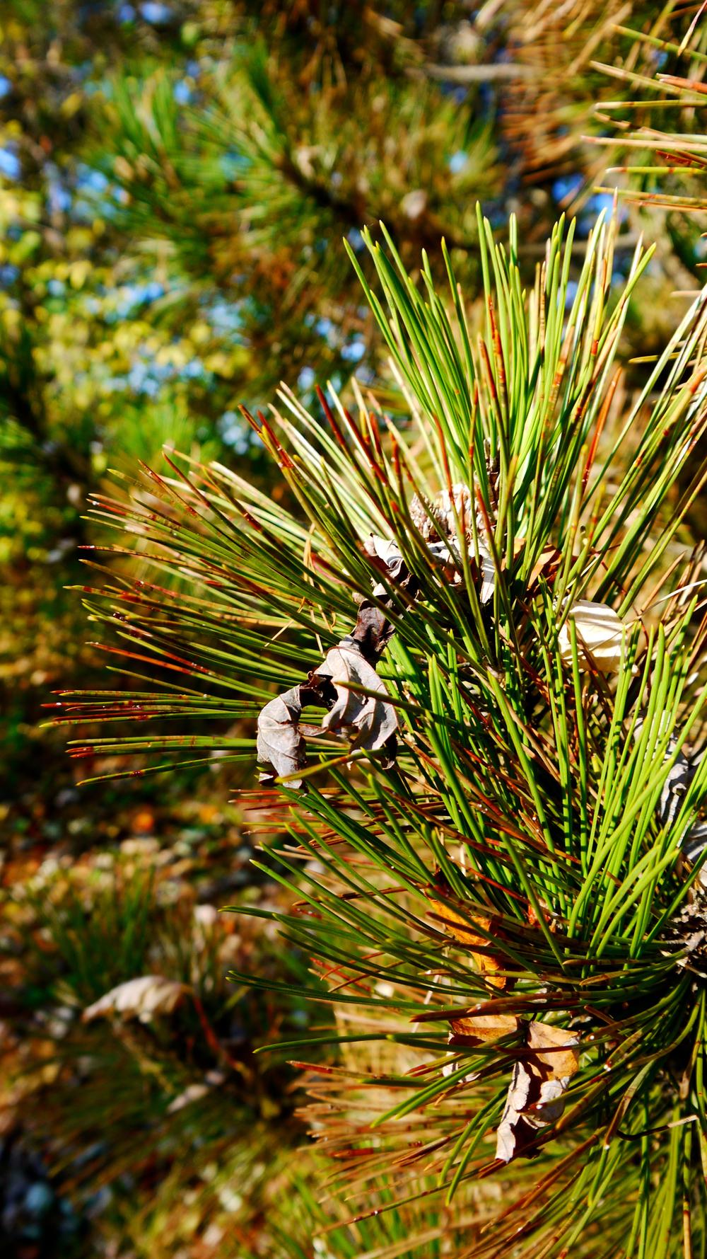p1000401-pine-tree.jpg