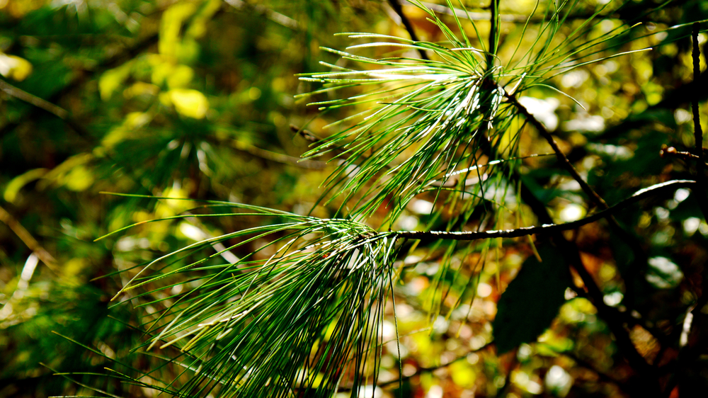 p1000410-pine.jpg