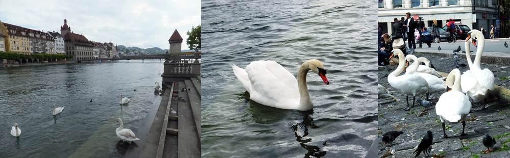 Figure 11. Swans