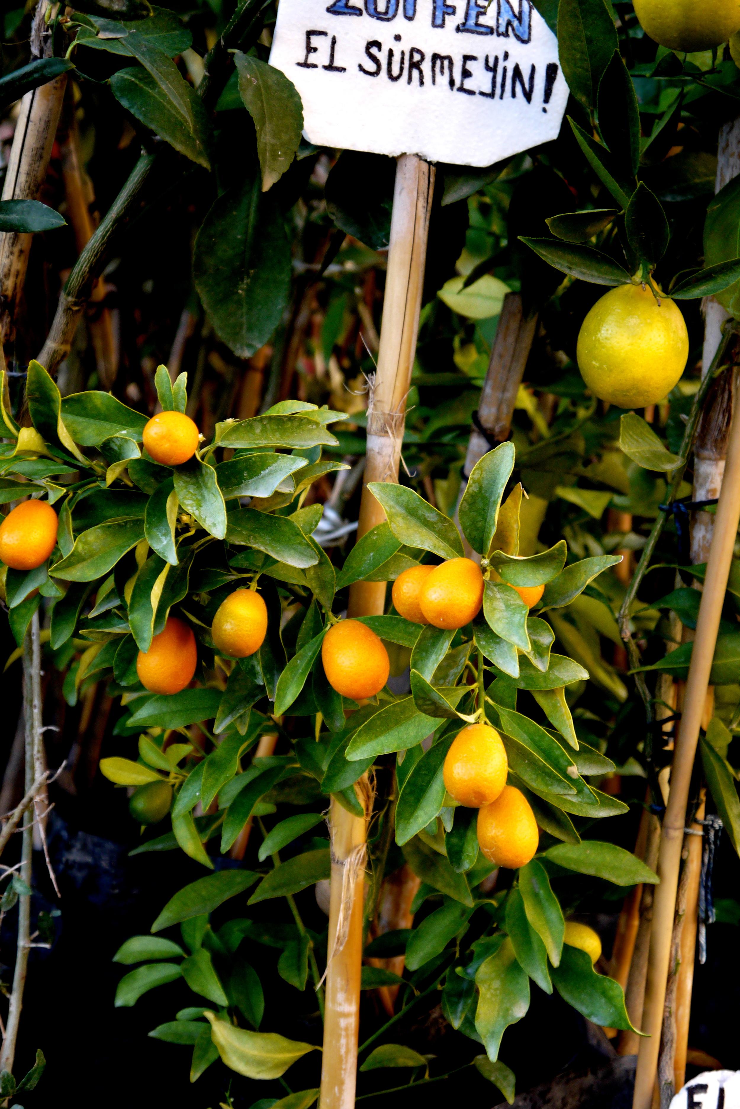 Figure 8. Kumquat tree