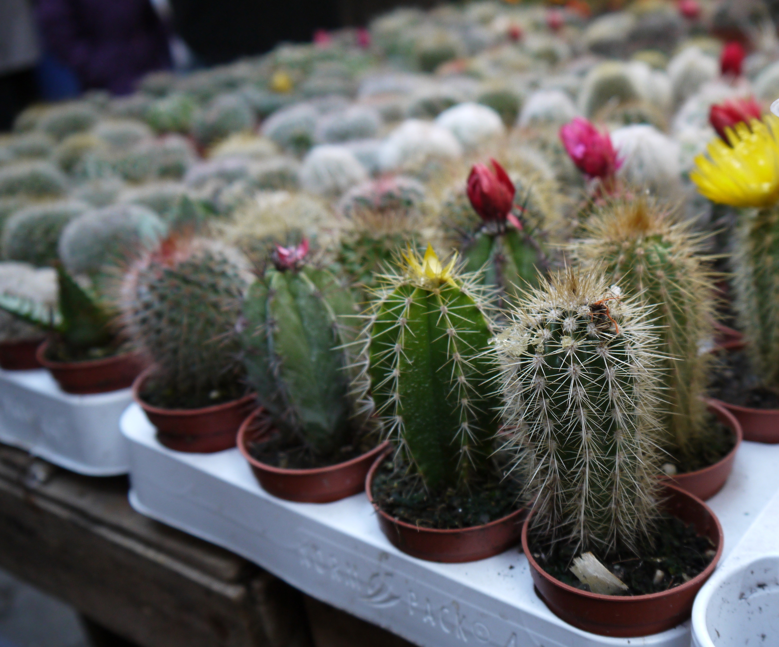 Figure 9. Cacti