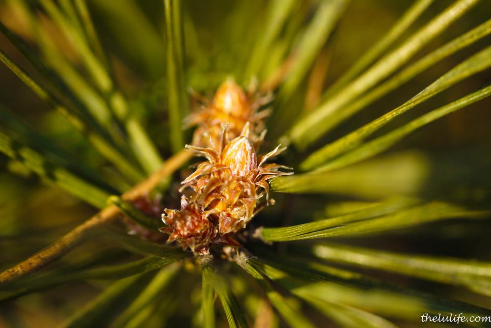P1040499 Pine