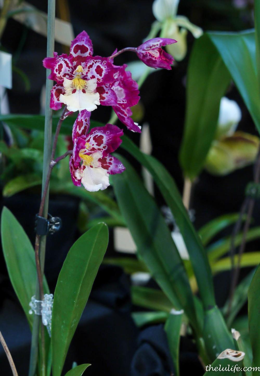 P1040530 Orchids