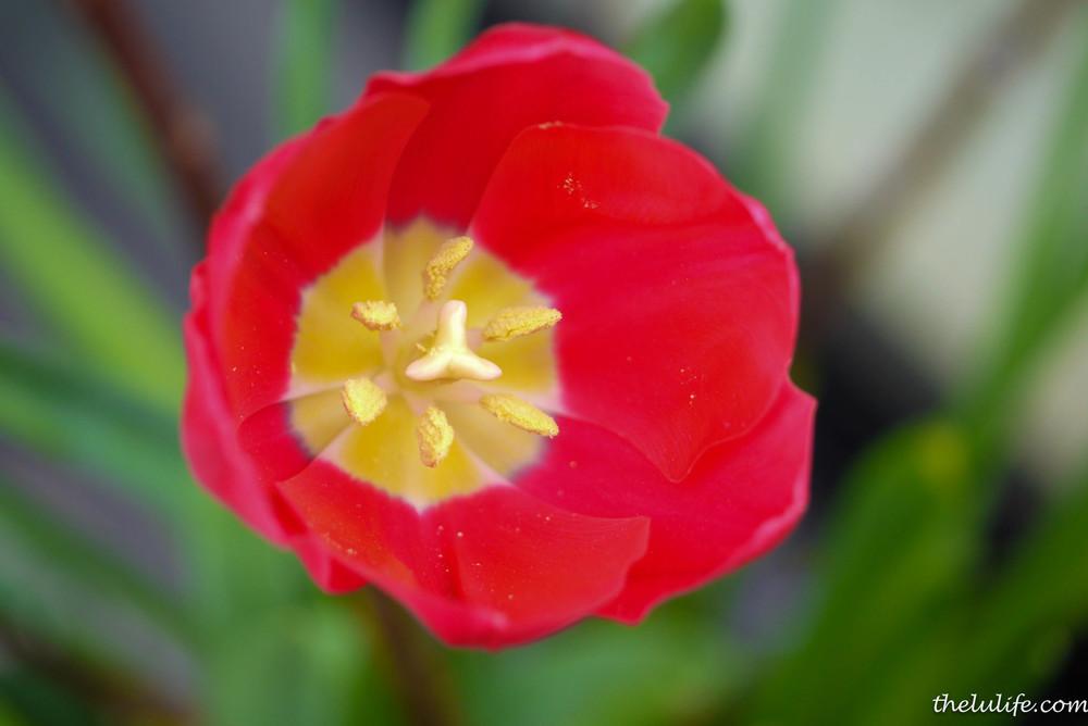 P1040941 Tulip