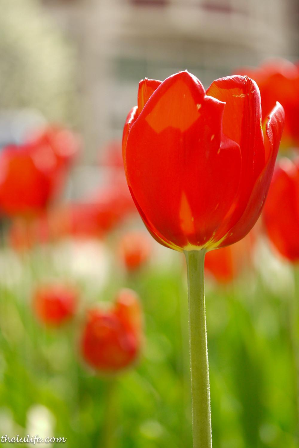 P1040958 Red tulip