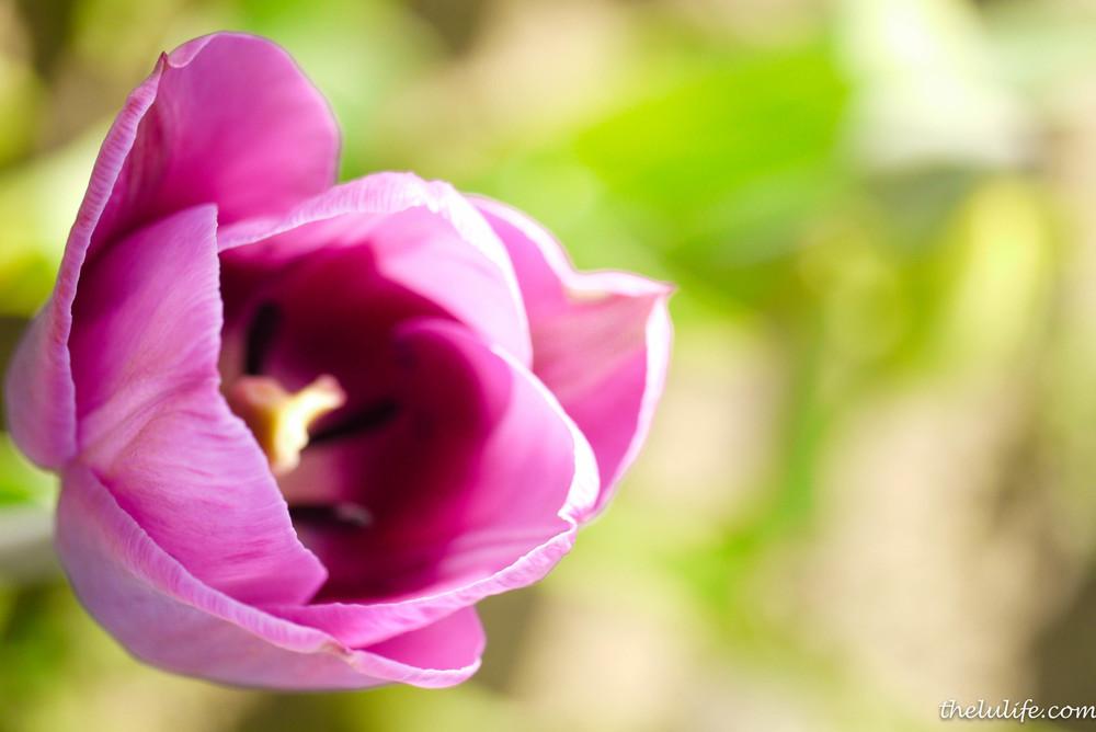 P1040965 Tulip