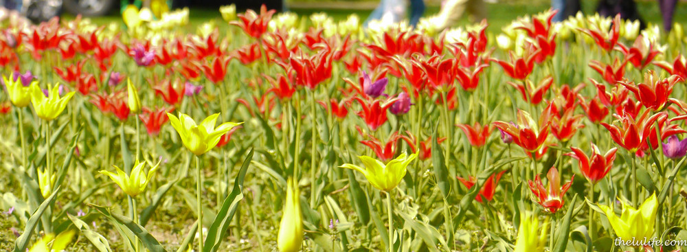 P1040966 Tulips