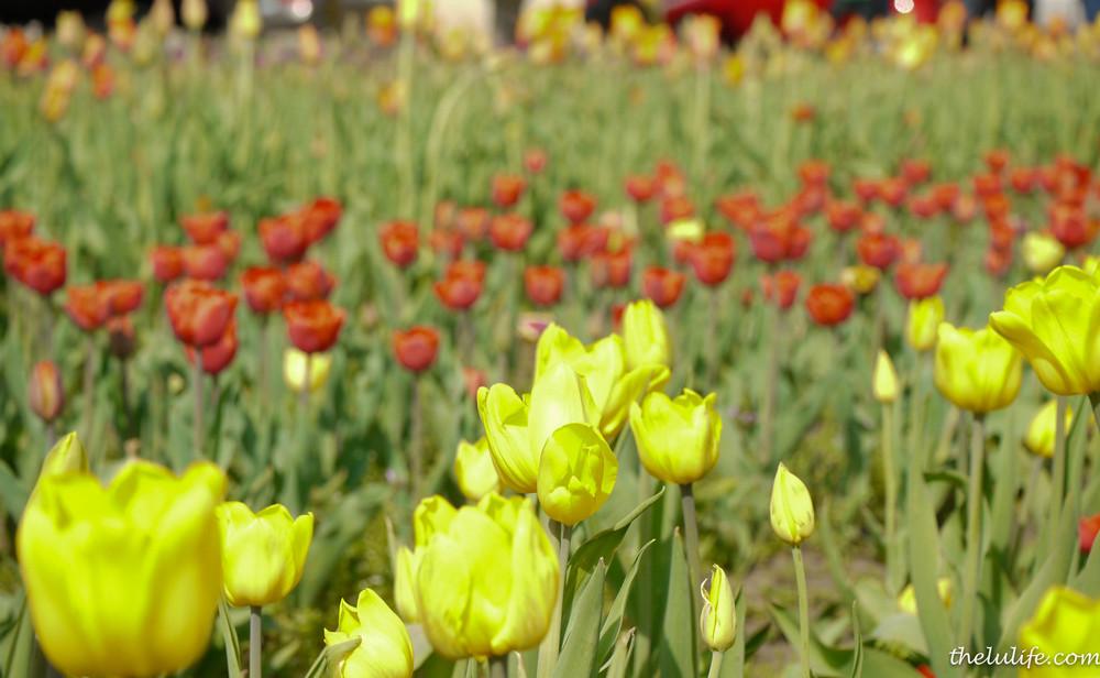 P1040983 Tulips
