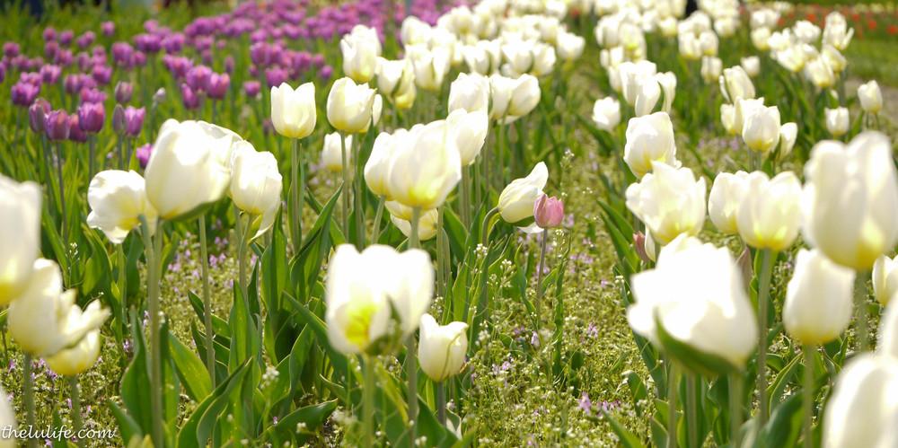 P1040987 Tulips