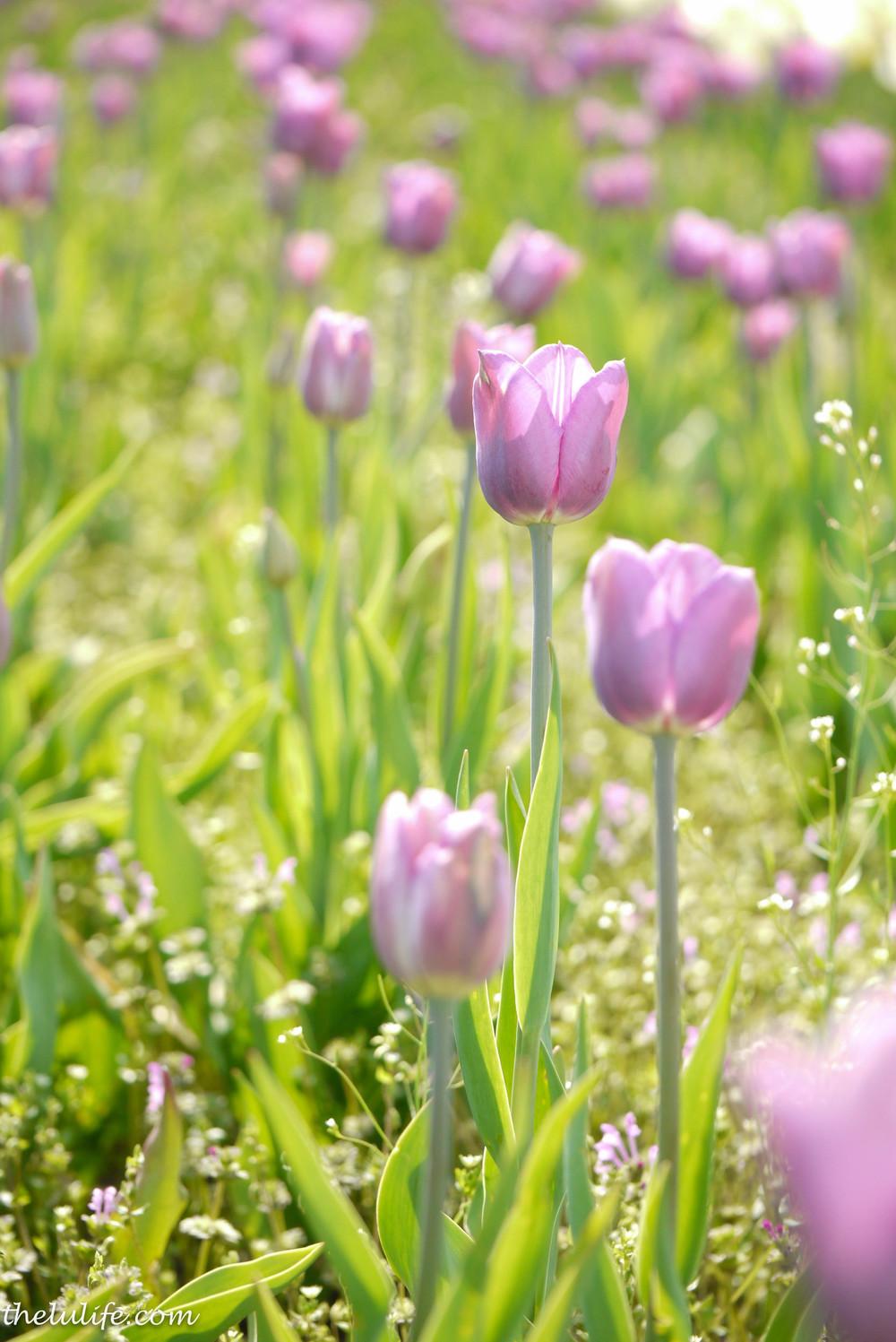 P1040990 Tulips