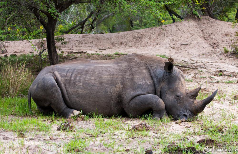 IMG_1337 White rhino