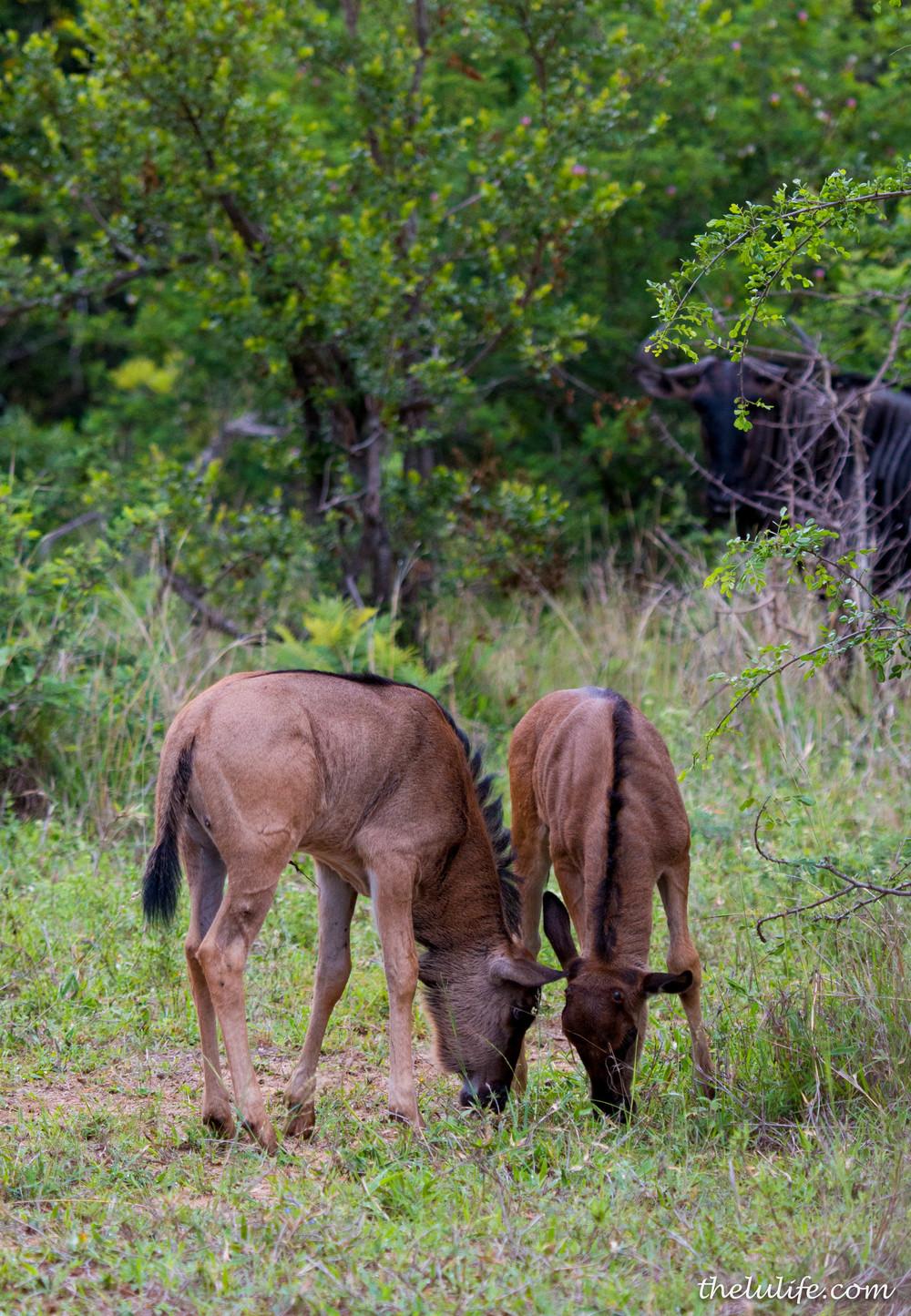IMG_1503 Wildebeest calves