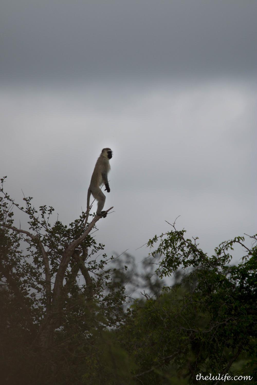 IMG_1523 Vervet monkey