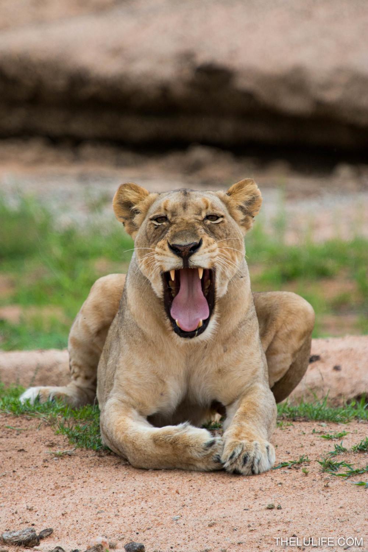 IMG_1607 Lioness