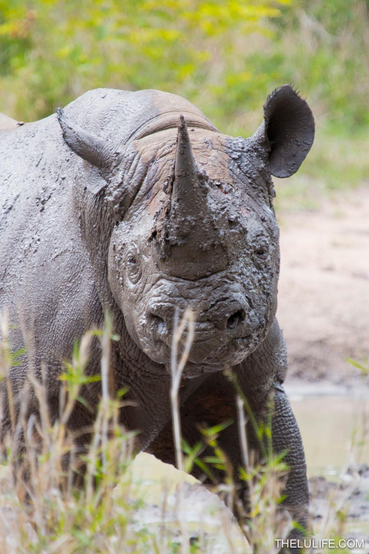 IMG_1714-2 Black rhino