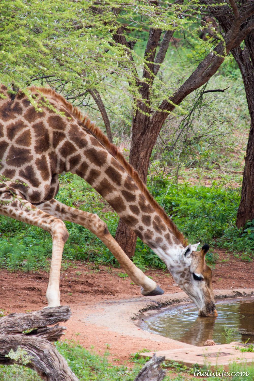 IMG_1756 Giraffe drinking