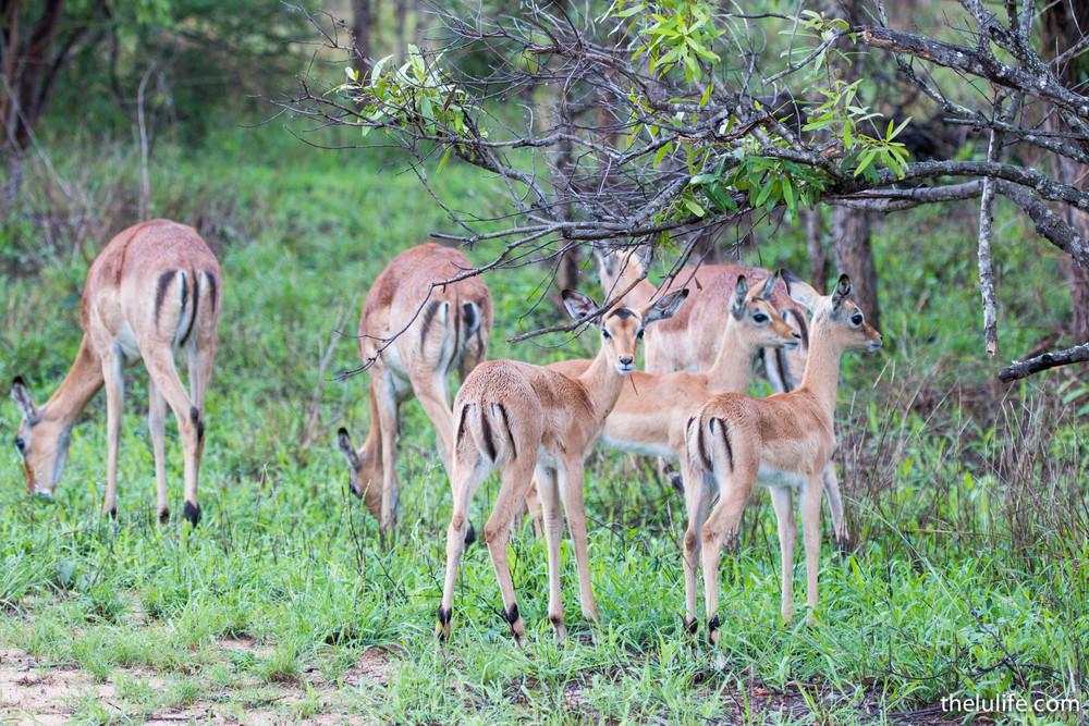 IMG_2059 Female impala