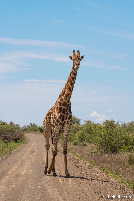 IMG_2327 Giraffe