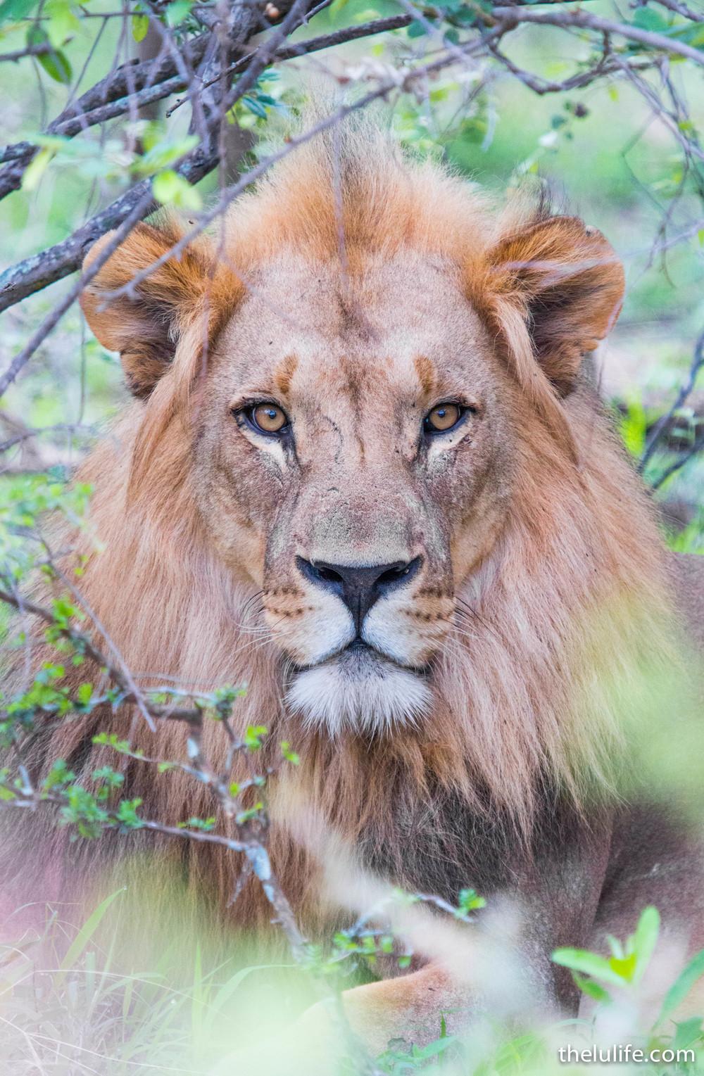 IMG_2641 Lion