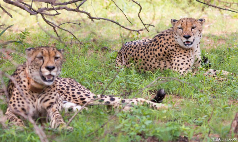 IMG_2997-2 Cheetahs