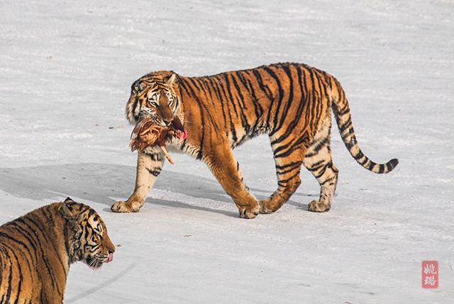 What are you having for dinner tonight? The Siberian tigers in Harbin are often fed live chickens. They will pluck off the feathers before eating their tasty treat! 🐅😳🐓 . . . #winter #harbin #tiger #china #snow #wildlife #animals #wild #beautifuldestinations #travelphotography #traveladdict #traveltheworld #explore #adventure #wanderlust #outdoors #worldcaptures #nature #naturephotography #naturelovers #wildlifephotography #wildlife_perfection #animalkingdom #cold #freezing #bigcat #dinner #chicken #LuVenturesAsia