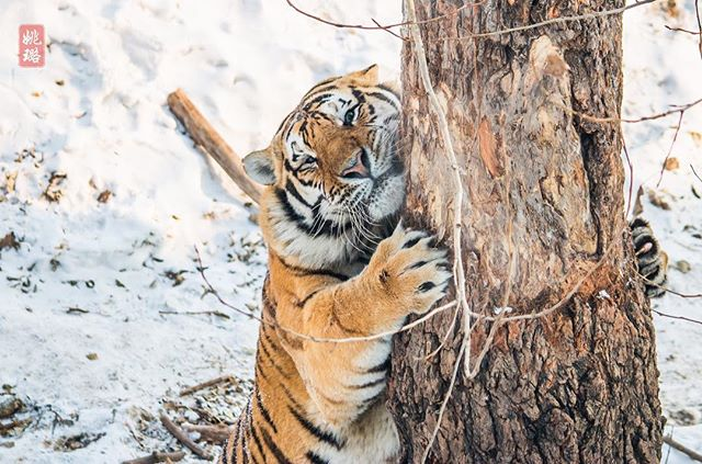 He's a tree hugger! 🐅🌳 . . . #winter #harbin #tiger #china #snow #wildlife #animals #wild #beautifuldestinations #travelphotography #traveladdict #traveltheworld #explore #adventure #wanderlust #outdoors #worldcaptures #nature #naturephotography #naturelovers #wildlifephotography #wildlife_perfection #animalkingdom #cold #freezing #bigcat #conservation #tree #LuVenturesAsia