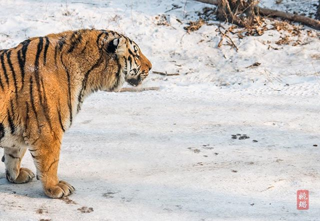 Got its eye on something yummy! The Siberian tigers here in Harbin are never fed to capacity so they stay active. In the wild, they'll feast and then sleep off a food coma 🐅 . . . #winter #harbin #tiger #china #snow #wildlife #animals #wild #beautifuldestinations #travelphotography #traveladdict #traveltheworld #explore #adventure #wanderlust #outdoors #worldcaptures #nature #naturephotography #naturelovers #wildlifephotography #wildlife_perfection #animalkingdom #cold #freezing #bigcat #stare #profile #LuVenturesAsia
