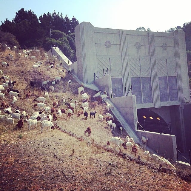 Clearing vegetation for the California Department of Transportation in Oakland, California by @starcreeklandstewards in 2014. About 400 goats browse annual grasses and shrubs around Caldecott Tunnel every year. . . The increase in demand for this work is undeniable around the West, especially when projects like this are in high visibility of the public. Jobs like this require a tight ship, good communication with the team on the ground, the public and the managers of project who hired you and your outfit. . . This ain't you typical rodeo so how do you do it?! Learn by doing and learn from those experienced. . . #urbangrazing #firegoats #grazingschoolofthewest #starcreeklandstewards #soyouwanttobeagrazier #publicsafety #soilnotoil #newpastoralism #caldecotttunnel #iamamodernfarmer #goatlife