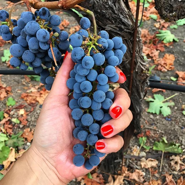 Guess what's happening tonight! #harvest2017 #wepplervineyards #cabernet #cabernetsauvignon #calistoga #calistogaava #winecountry #napavalley #visitcalistoga #drinkcabernet