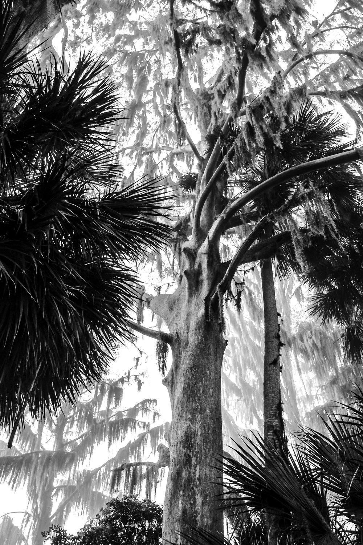 Gloomy Cypress.jpg