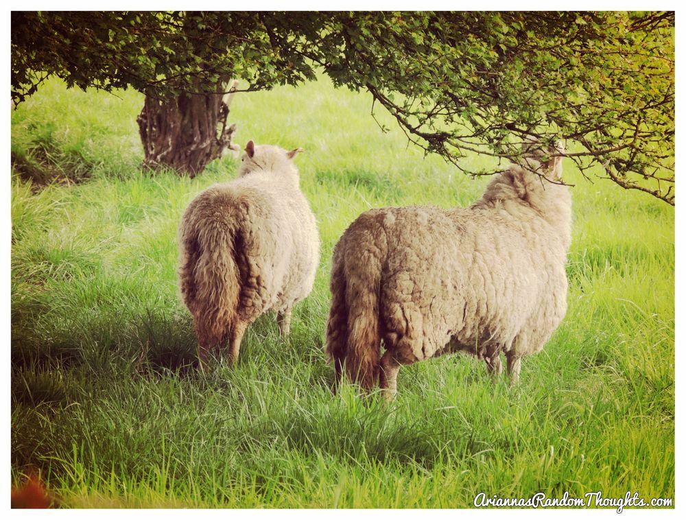 BeFunky_sheep picture.jpg