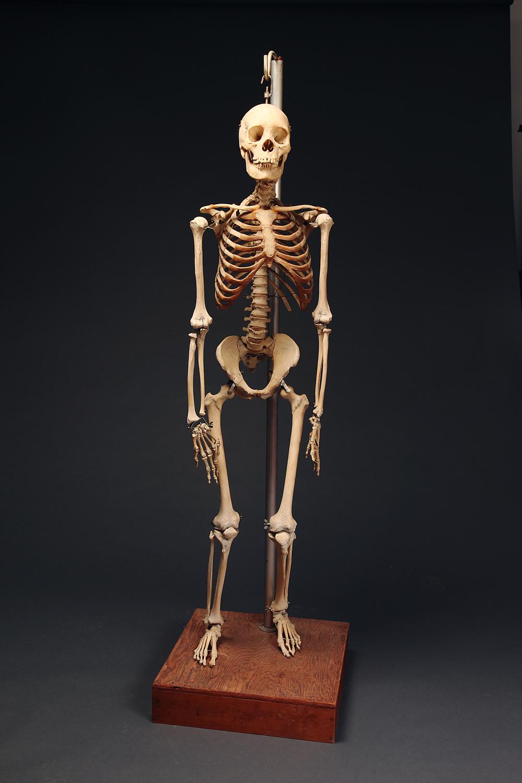 Fine, Vintage Human Skeleton