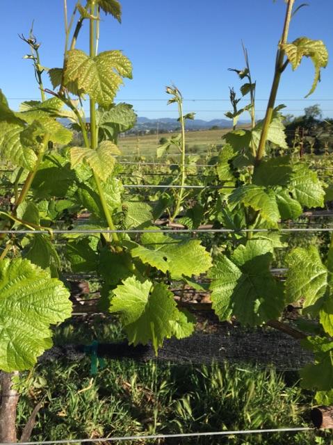 new vines.jpg