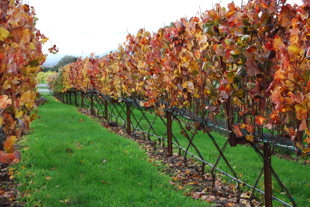 Fall vines.JPG