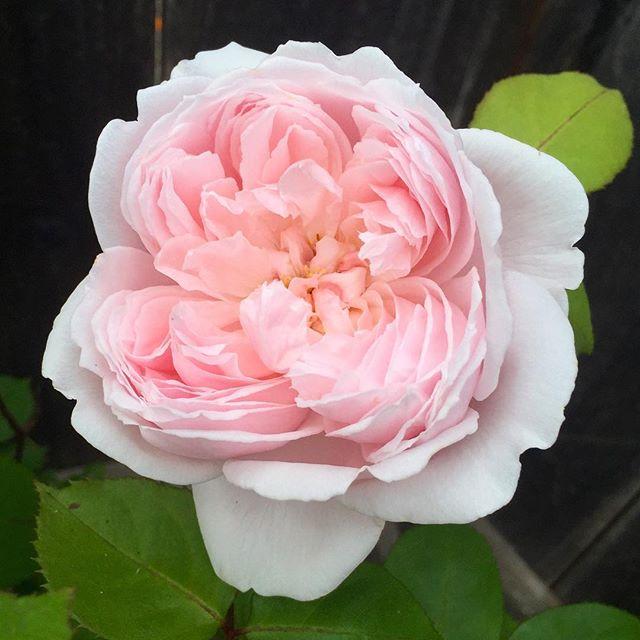 Pink Rose Instagram