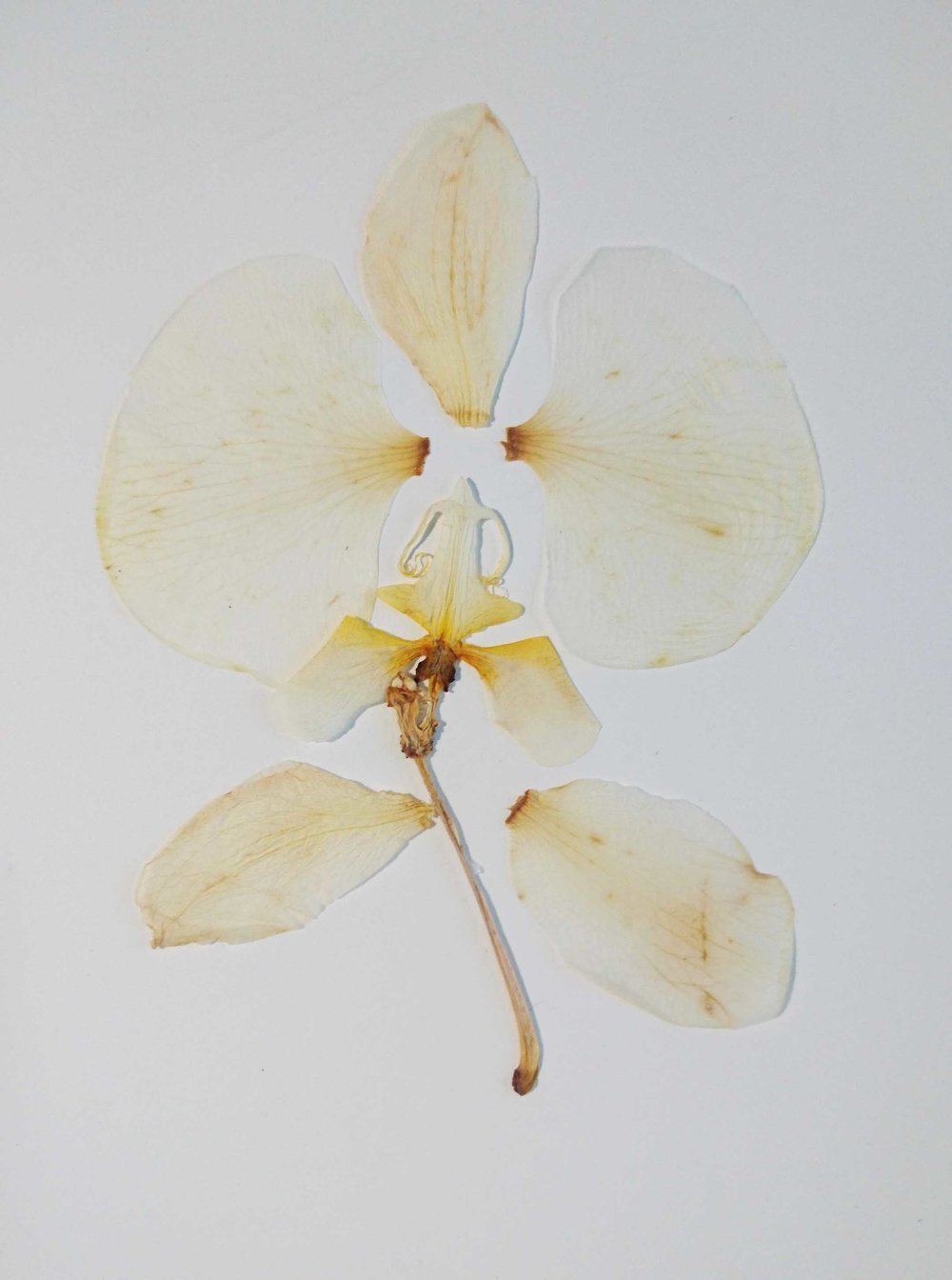 dried orchard petals - silk smooth - transparent - lightness of spirit