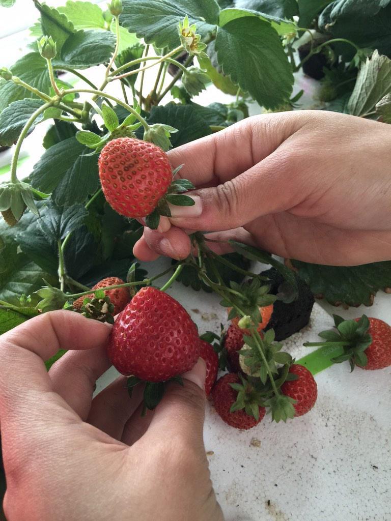 cityfarm strawberry.jpg