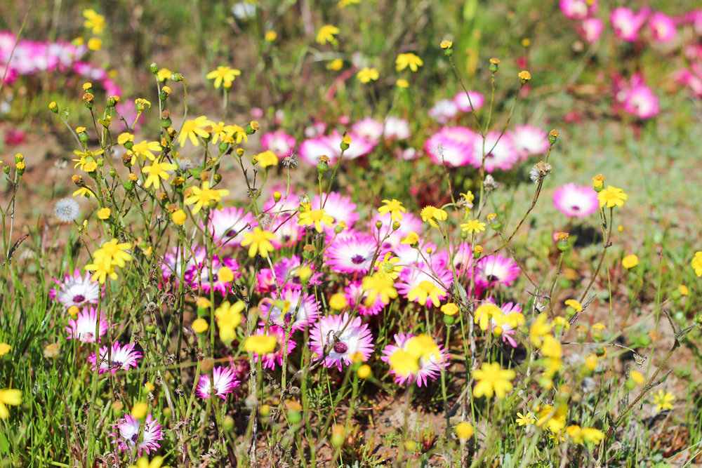 Where_to_see_flowers_in_Darling_5.jpg