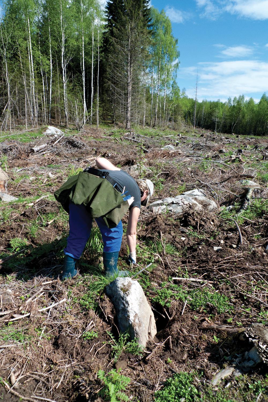 Planting etter hogst er en forutsetning for å opprettholde fremtidig CO2-binding i skog. Foto: Inger S. Fløistad, NIBIO