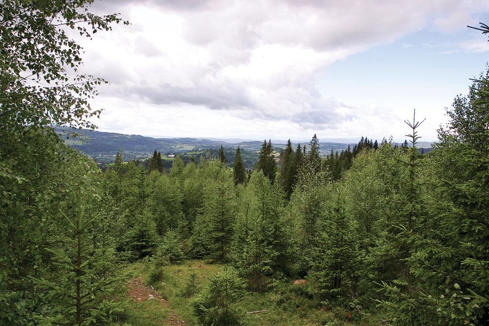 Når trærne blir 2–8 meter høye, er det tid for å redusere på lauvkrattet og fristille framtidstrærne. Lunner, Oppland. Foto: John Yngvar Larsson, NIBIO