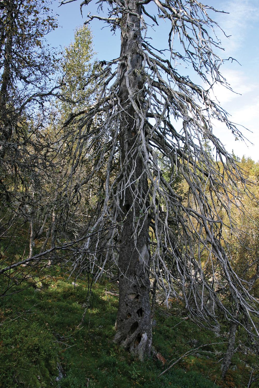 Gamle tørrgraner er tilholdssted for mange organismer, også hakkespetter på jakt etter insekter og reirplass. Busuvatnet, Sør-Aurdal. Foto: John Yngvar Larsson, NIBIO