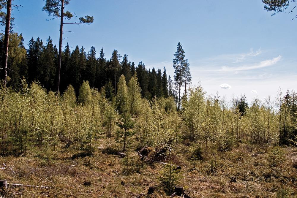 Det skal tilstrebes en lauvtreandel på minimum 10 prosent i framtidsskogen. Her er det nok i overkant, med behov for ungskogpleie hvis ikke bjørka skal ta overhånd. Gran, Oppland. Foto: John Yngvar Larsson,NIBIO