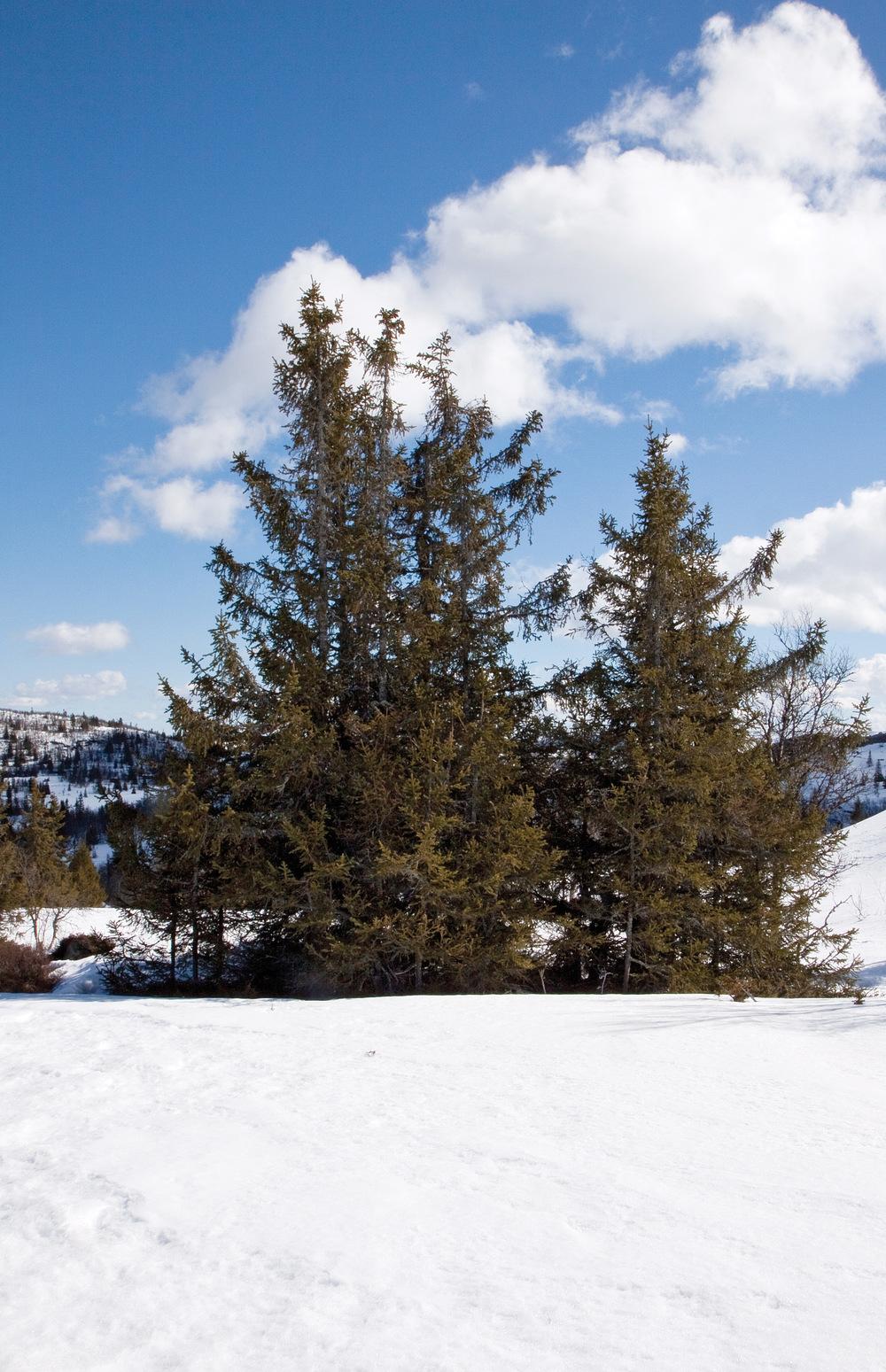 Gran er det treslaget som er best karakterisert genetisk. Grankloner dannes ved vegetativ formering. 1000 moh., Hedalen, Sør-Aurdal. John Yngvar Larsson, NIBIO