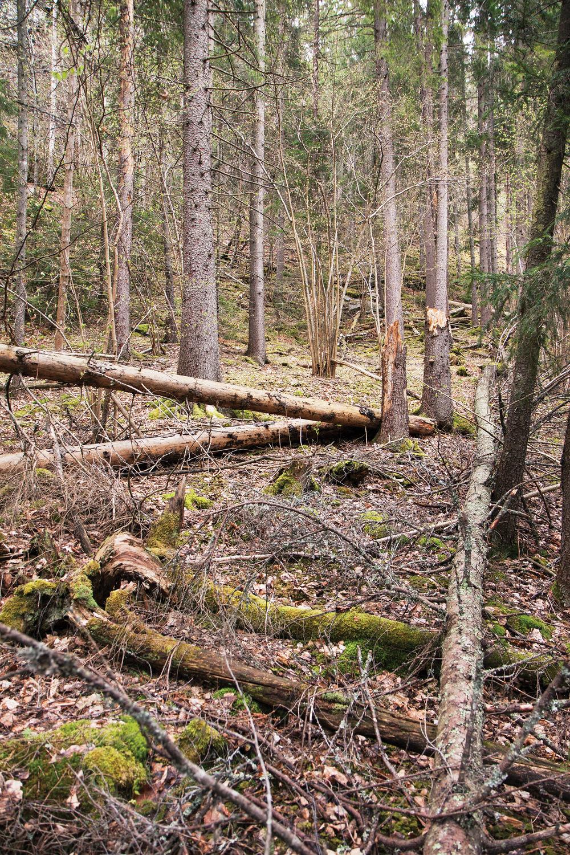 Skogeiere forplikter seg til å bevare nøkkelbiotoper for å få tømmeret fra eiendommen sertifisert. Et livsmiljø med rik bakkevegetasjon og mye død ved inneholder potensielt truede arter og gir nøkkebiotopstatus. Hole, Buskerud. Foto: John Yngvar Larsson,NIBIO